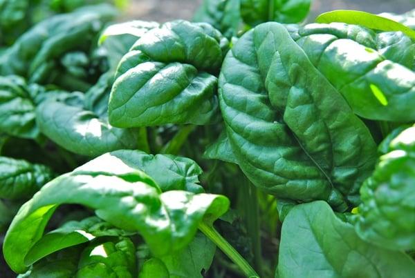 Semi Savoy Spinach